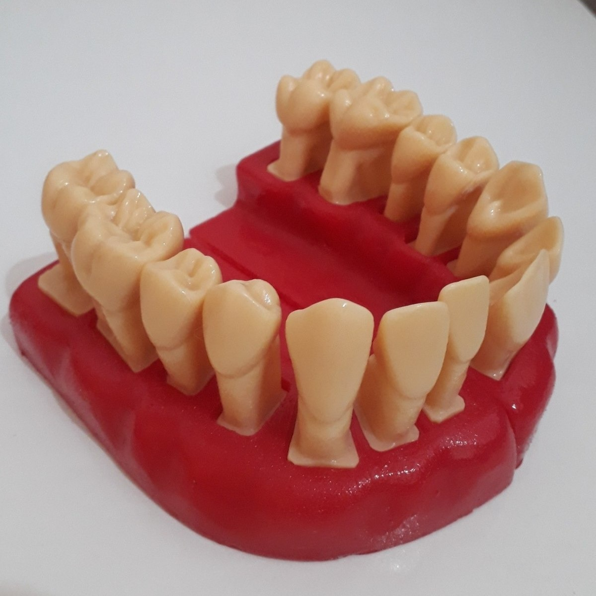 Macromodelo De Dentes Em Resina Estudo De Anatomia Dental