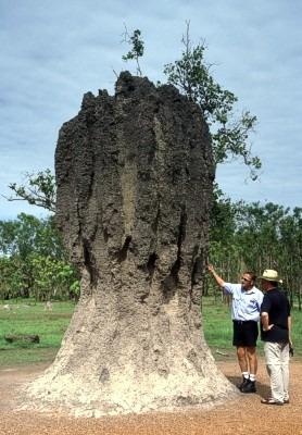 madera infectada con insecto: termitas comegen algavaro ...