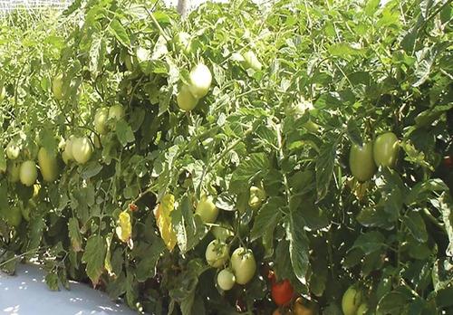 malla espaldera hortomallas soporte de hortalizas 1.5x5m