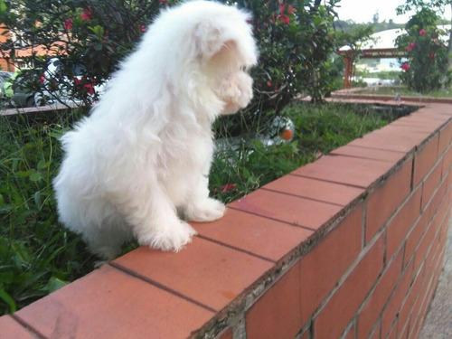maltés bichon, carita de muñecos centro canino yo soy tu ami