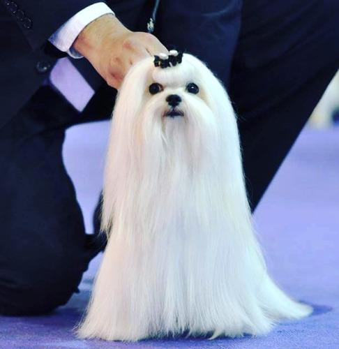 maltés bichon maltes  cachorros