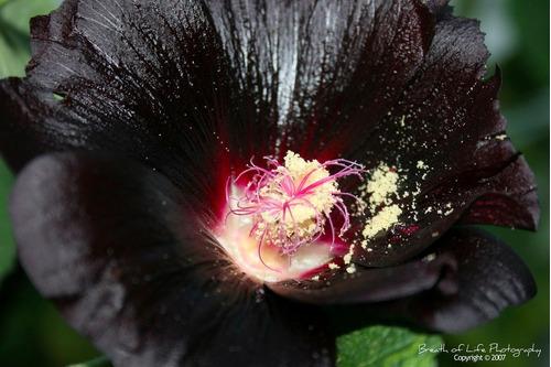 malva negra - alcea rosea nigra - flor rara! sementes