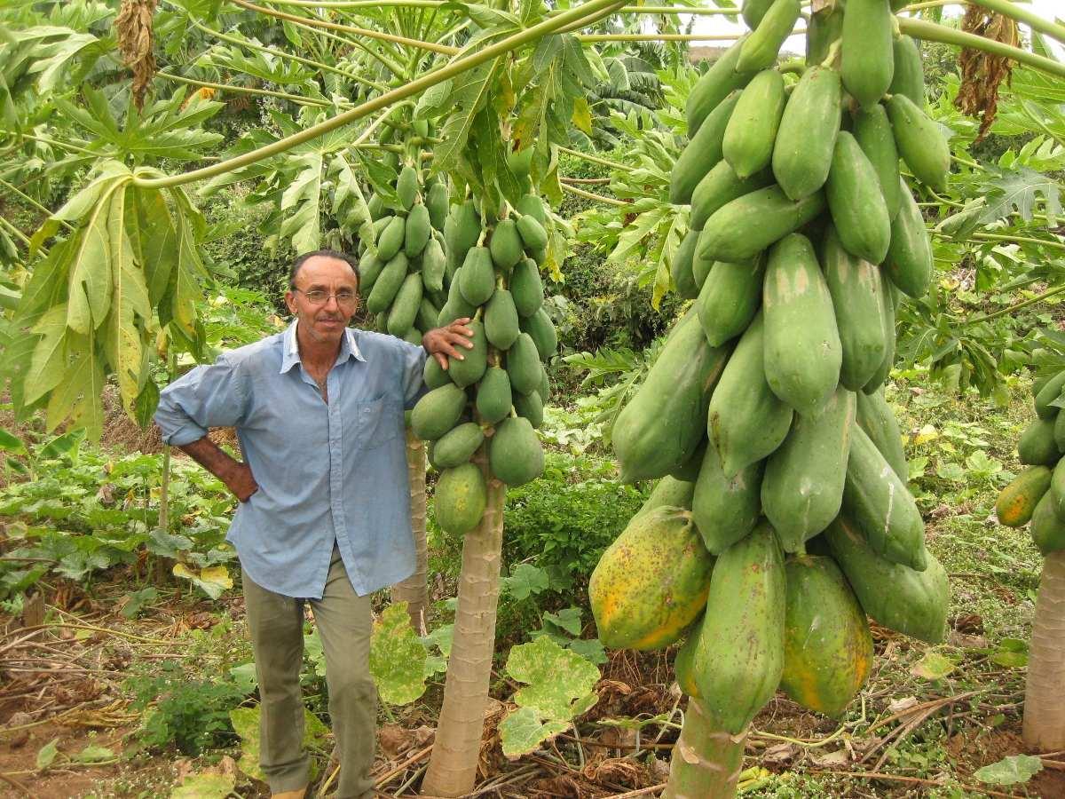 Mam o formosa gigante max sementes frutas para mudas r for Plantas decorativas amazon