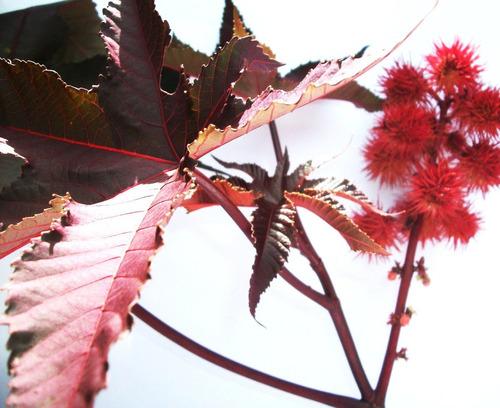 mamona vermelha - mamona fogo - plantas ornamentais