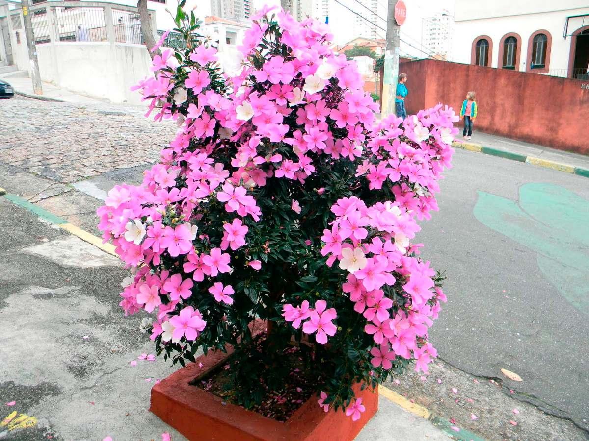 Manac? Tibouchina Mutabilis Sementes De Flor Para Mudas ...