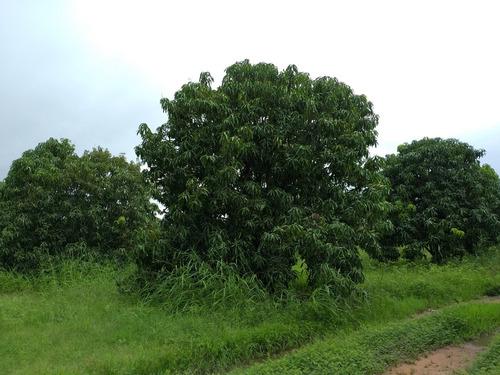 mango piña natural