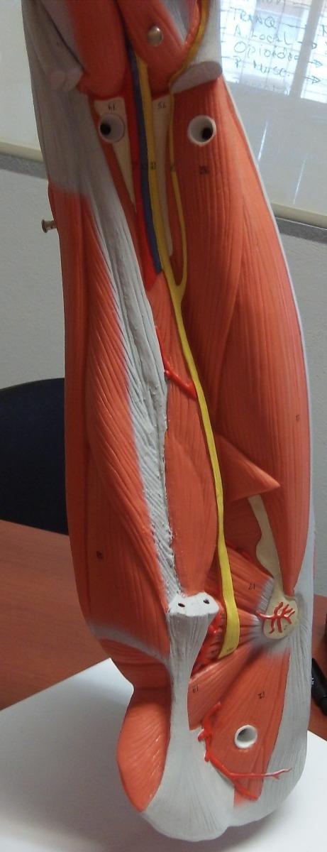 Atractivo Nervios De La Ingle Anatomía Embellecimiento - Anatomía de ...