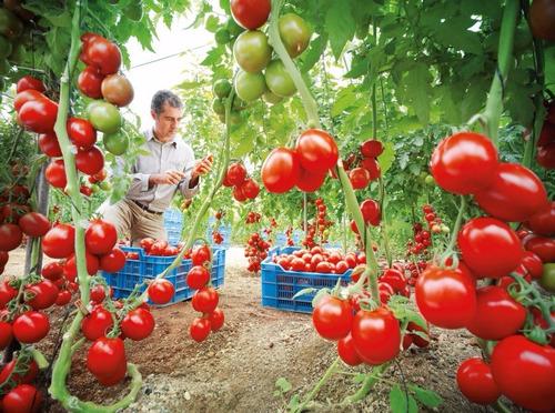 manual aprende el cultivo de tomate + regalo