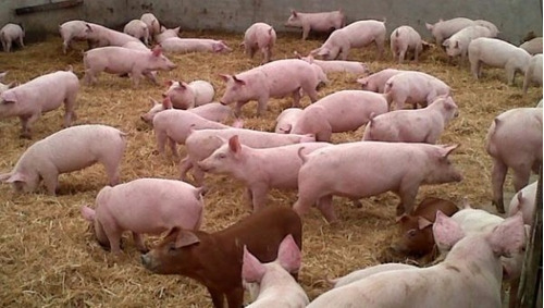 manual cria ovina,caprina,cerdos,pollos,codornices,cachamas.
