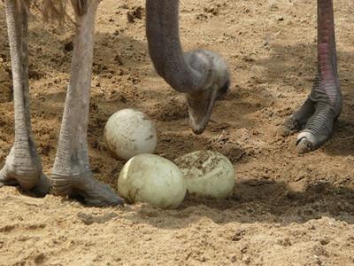manual de cria de avestruz