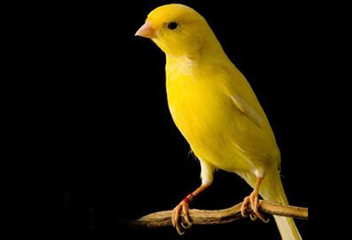 manual de criação  de canário belga! envio gratuito!