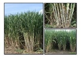 manual para el cultivo de caña de azucar