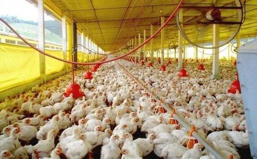 manual para la cria de pollos de engorde muy completo