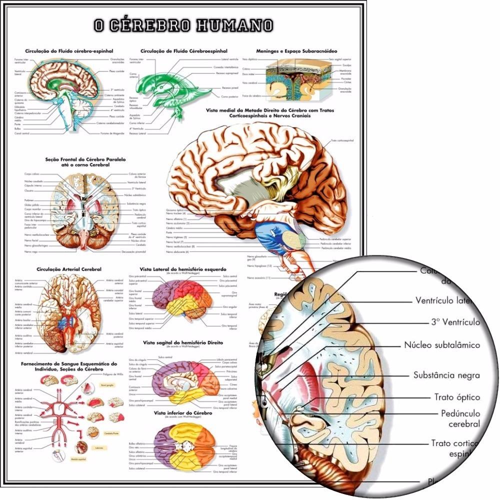 Mapa Anatomia Do Cérebro 65x100cm Poster - Para Fazer Quadro - R ...
