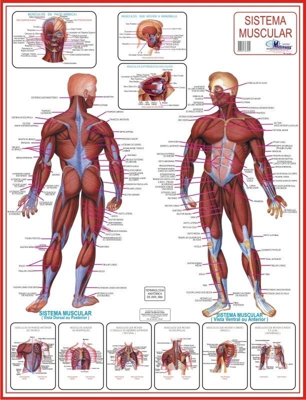 Lujo Sistemas Musculares Galería - Anatomía de Las Imágenesdel ...