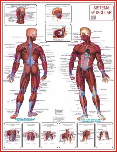 mapa do corpo humano sistema muscular anatomia frete gratis