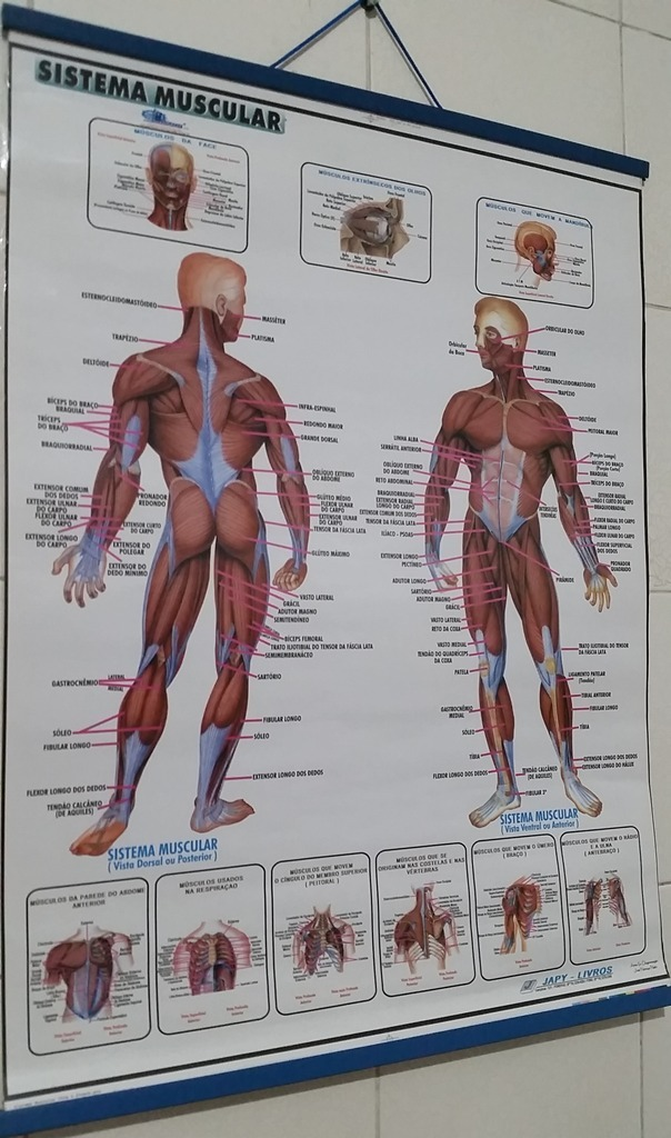 Mapa Do Corpo Humano Sistema Muscular Enrolado Laminado - R$ 5,00 em ...