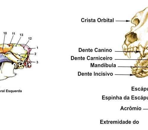 mapa esqueleto canino 65x100cm clínica medicina veterinária