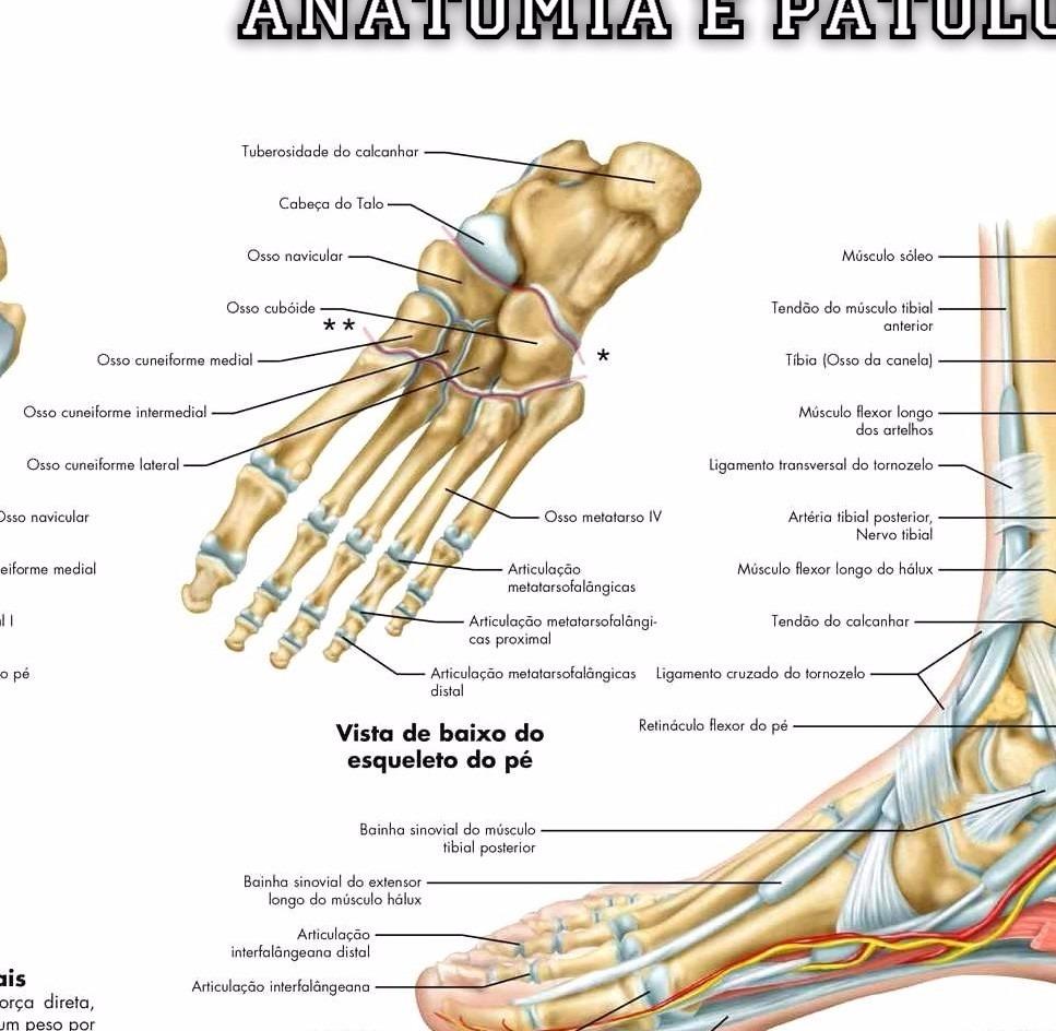Excelente Anatomía Tibia Distal Ornamento - Imágenes de Anatomía ...