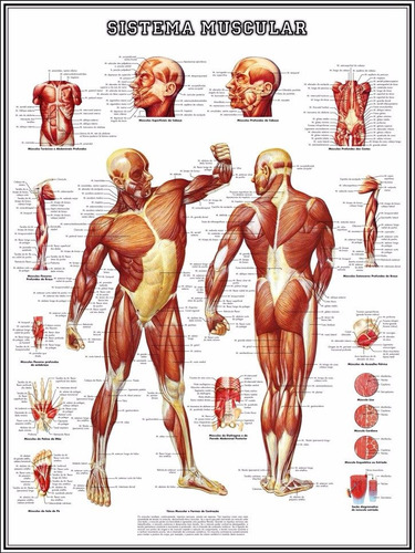 mapa hd do sistema muscular 65x100cm poster fisio sem dobras