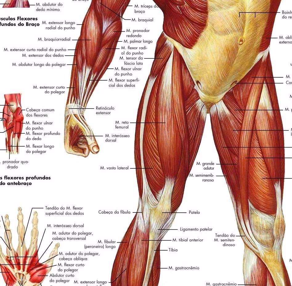 Mapa Hd Do Sistema Muscular 75x100cm Poster Fisio Sem Dobras - R ...