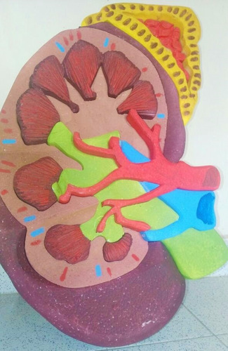 maqueta de riñón en buen estado.