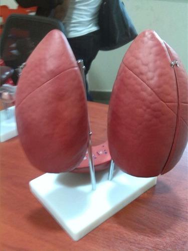 maqueta didáctica de pulmones