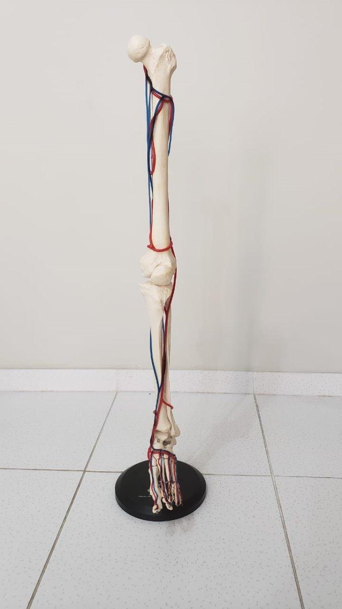 Maqueta Modelo De Pierna Con Sistema De Venas Y Arterias - S/ 199,00 ...
