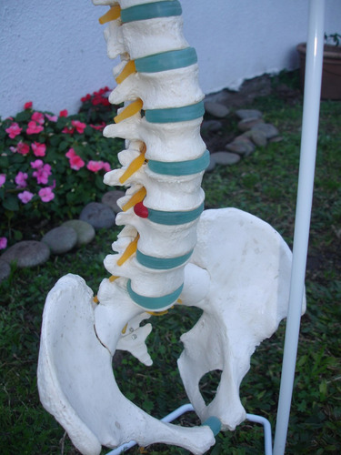 maquetas de columna vertebral ideal kinesiólogos médicos