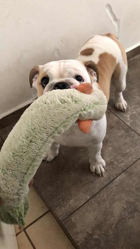 maquila bulldog ingles