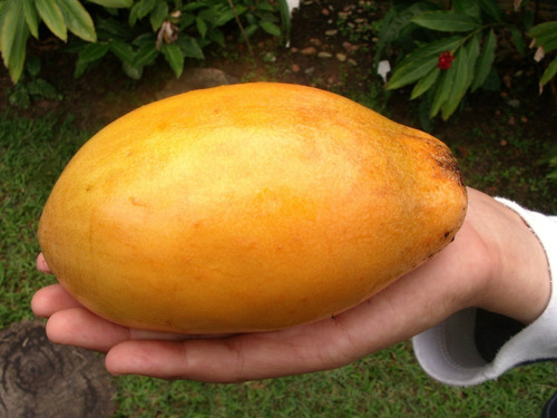 maracujá doce gigante 50 sementes raras - frete grátis !!