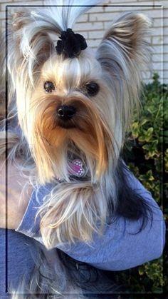 maravilhosa femea de yorkshire terrier