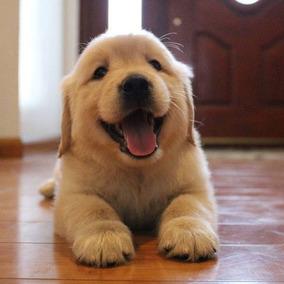 Maravillosos Cachorros Golden Retriever 100 Garantialibret