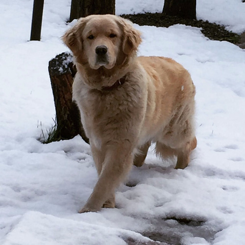 maravillosos cachorros golden retriever línea de campeones!!