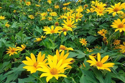 margaridão amarelo/girassol mexicano-100 sementes