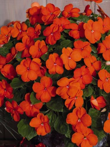 maria sem vergonha laranja impatiens baby orange sementes