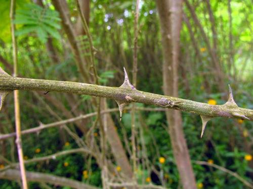 maricá espinheira cerca viva sementes para mudas