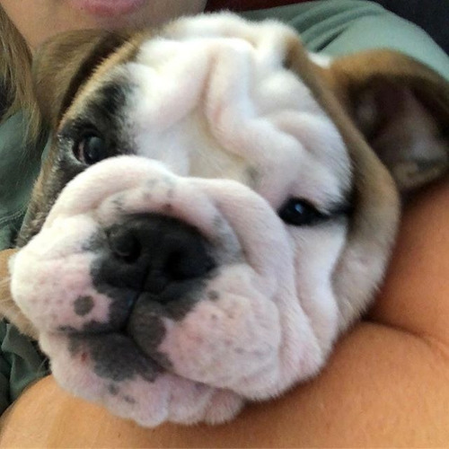 mascotas bulldog ingles  cali medellin bogota barranquilla