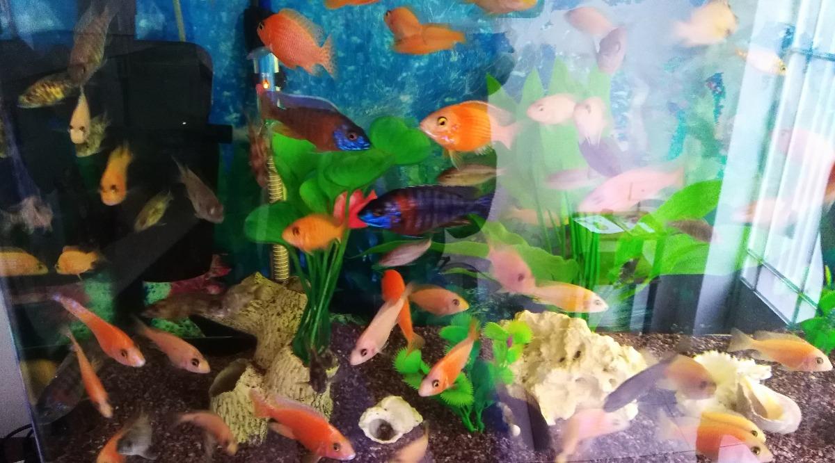 mascotas peces rojos ciclidos - acuario dragón rojo. Cargando zoom.