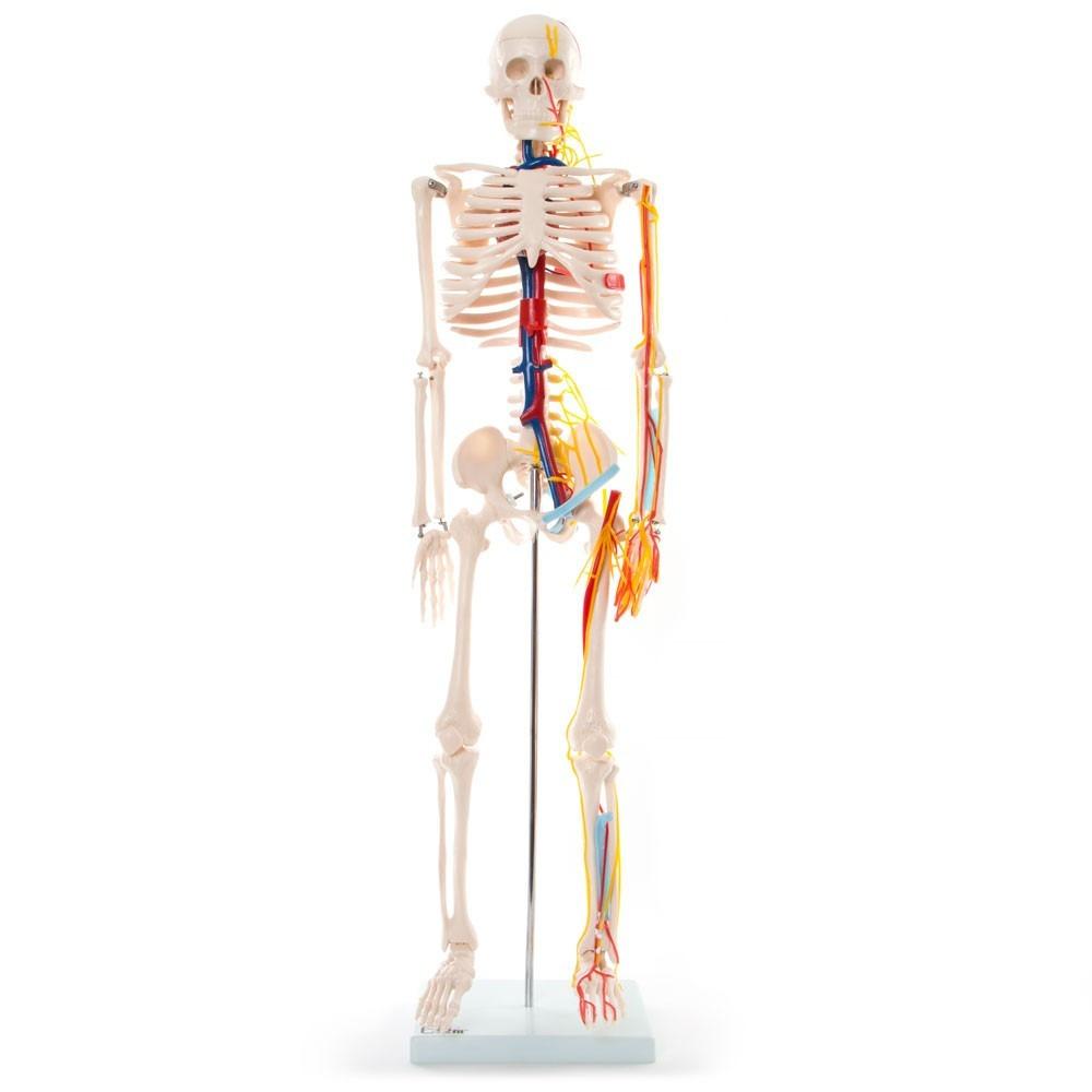 Material Didáctico Esqueleto Humano 85cm Circulatorio Vasos ...