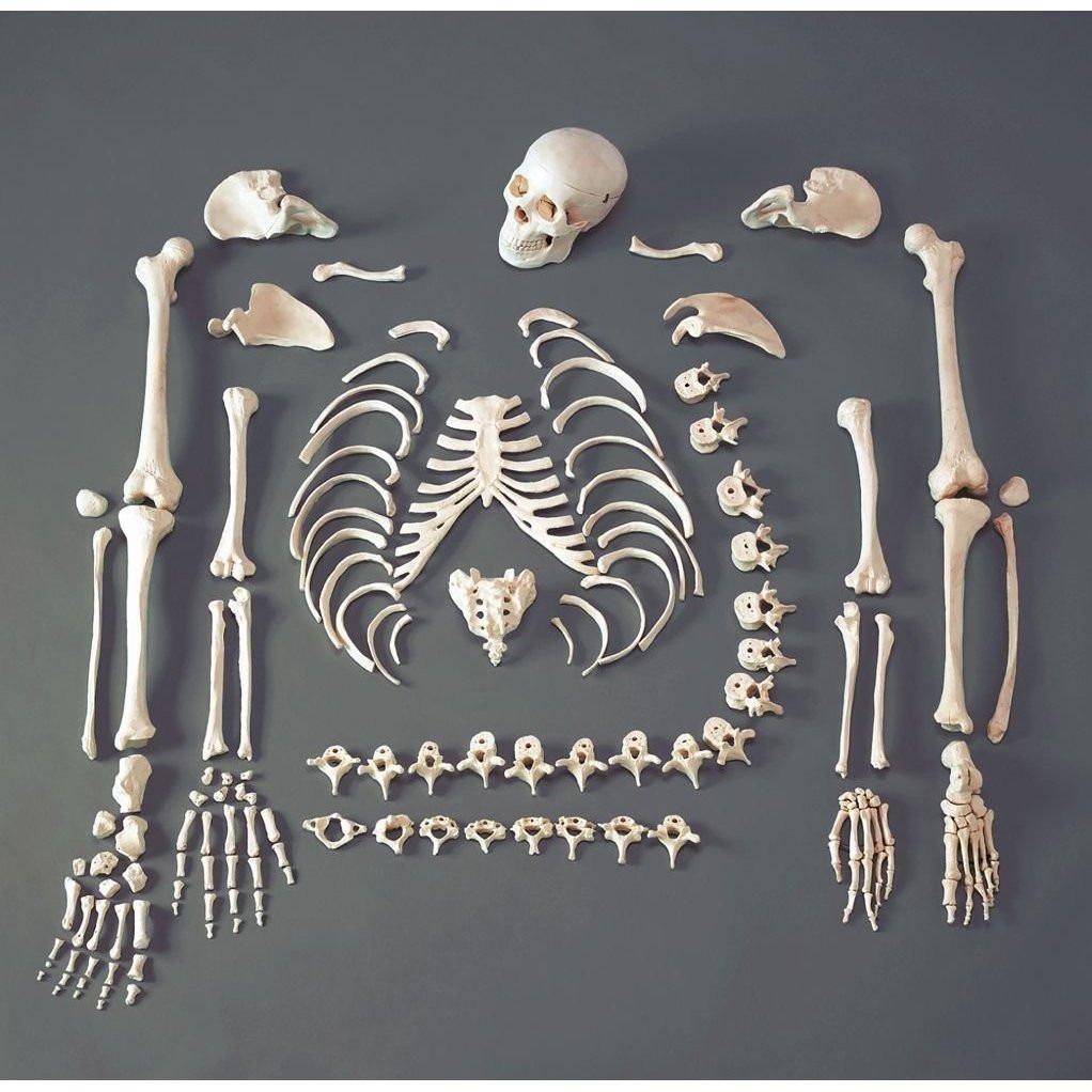 Material Didactico - Esqueleto Humano Desarticulado Medicina ...