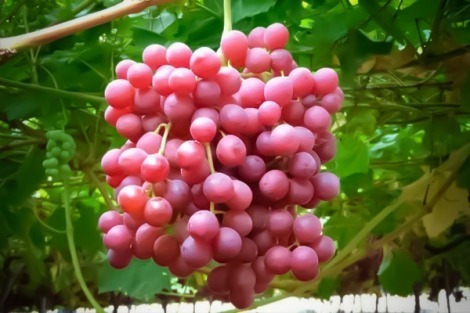 mejor precio encontrado uva fresca  1 ton.