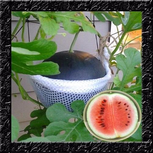 melancia baby anã para vasos sementes fruta para mudas