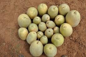 melancia forrageira 500 gr de sementes - alimentação animais