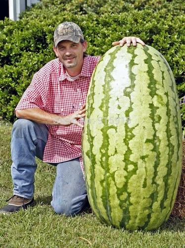 melancia gigante 20 sementes + frete gratis