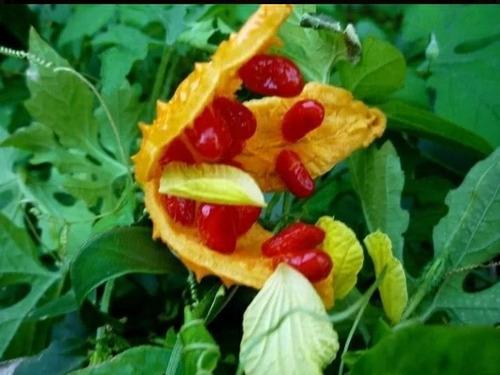 melão são caetano folhas 1kl de folhas