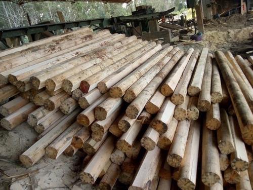 meolos eucaliptus y pino