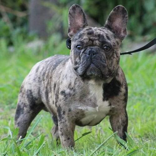 messi bulldog frances black merle