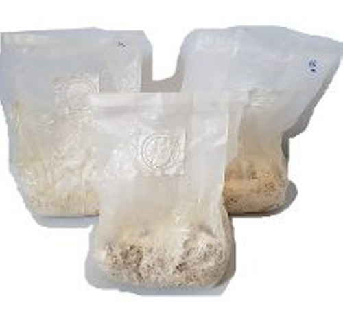micelio , semente de shimeji