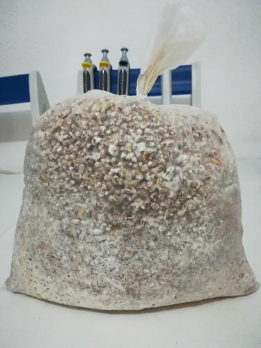 micelio semilla para la producción de hongo seta
